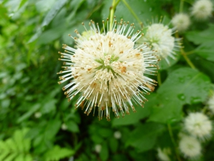 gailreynoldsButtonbush - Copy (640x480)